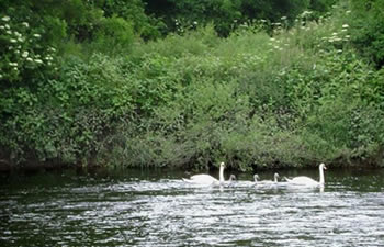 Swans on the Ballygriffin, photo by Lois Greene